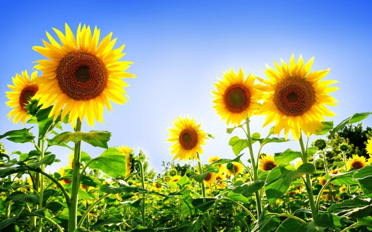 gorgeous_sunflowers-wide